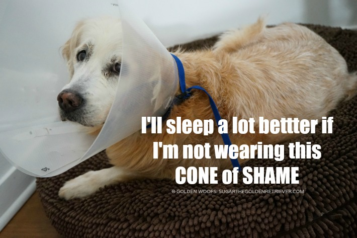 cone of shame golden woofs sugar the golden retriever
