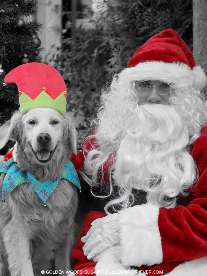 SUGAR golden retriever dog elf with Santa