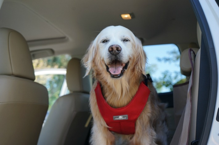 Pet Travel Safety with Sleepypod dog harness