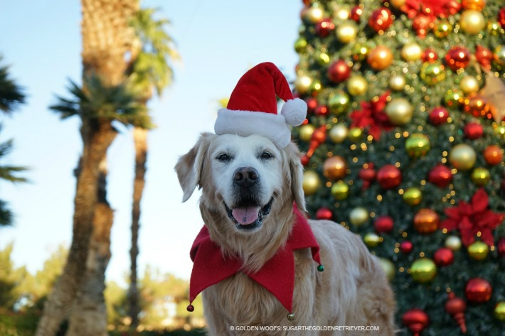 Santa Dog SUGAR at westin mission hills holiday tree