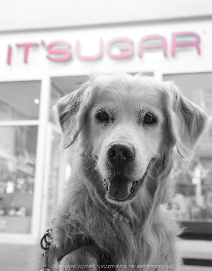 ME SUGAR the Golden Retriever DOG