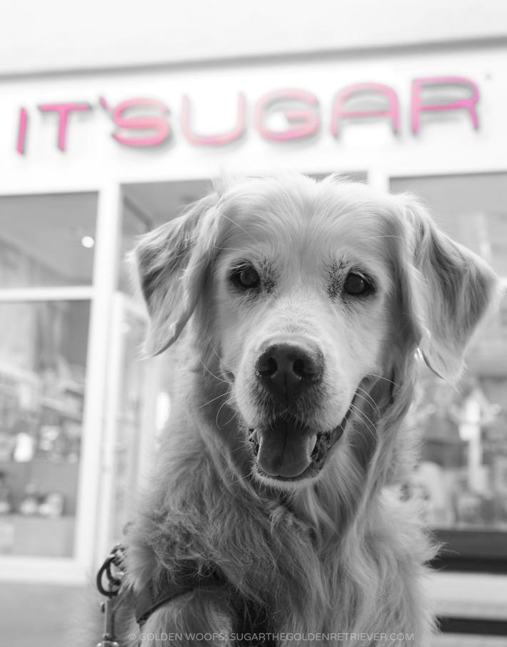 ME SUGAR the Golden Retriever DOG