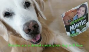 Golden Minty Fresh Dog Breath #MintiesTreats {video}