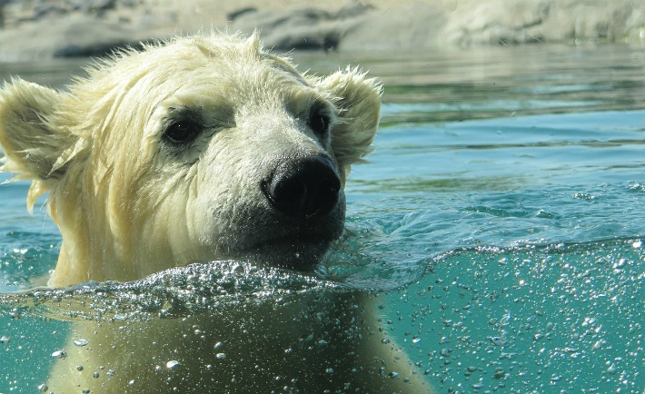 Polar Bears great swimmers