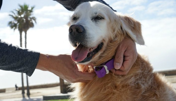 Red Dingo PVC Dog Collar Pawfect for an Adventure Dog #ChewyInfluencer