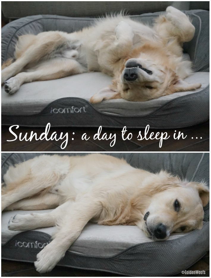 Sunday A Day To Sleep In #SertaPets iComfort Sleeper Sofa Pet Bed