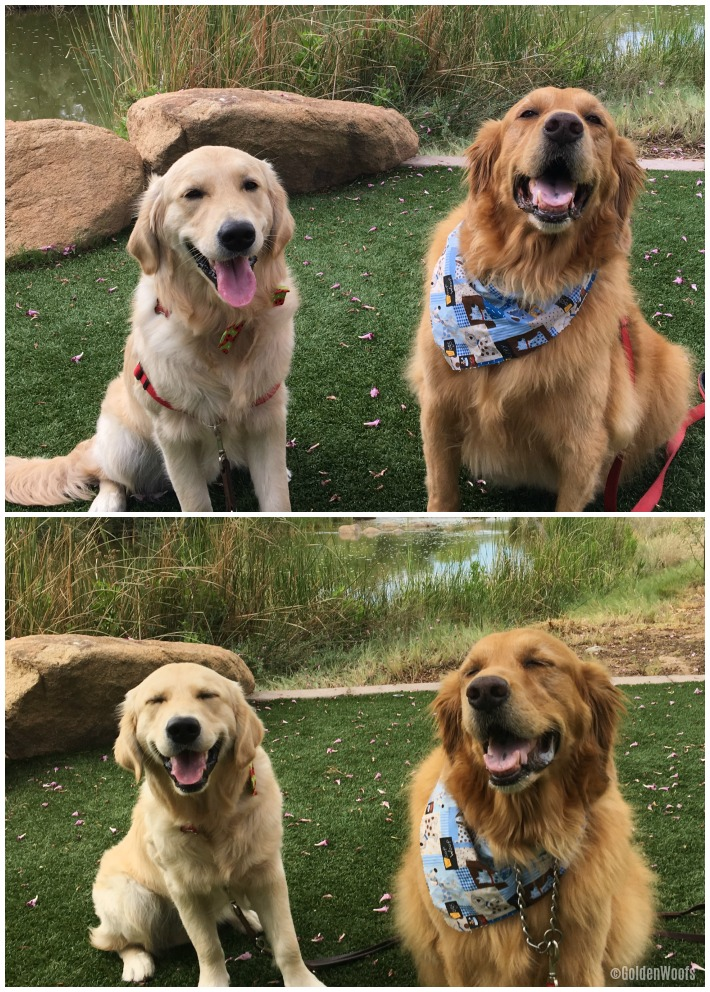 Golden Pals Meet up Bailey
