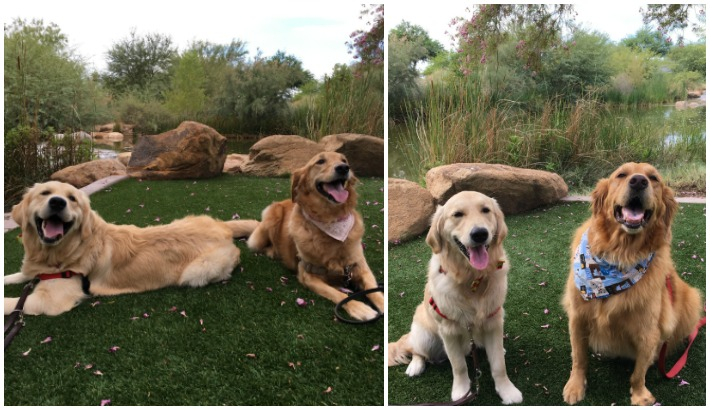 Meeting Golden Pals Giselle and Bailey