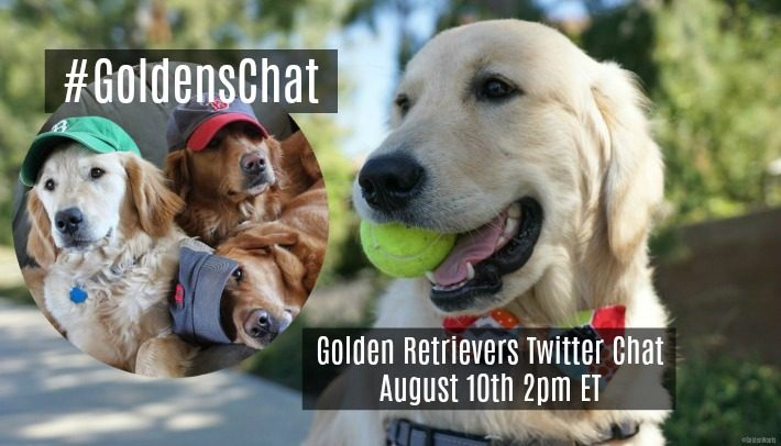 Join Us For Twitter #GoldensChat {Golden Retrievers Chat}