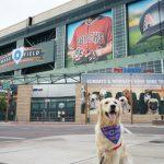 KORU BEAR at Dog Friendly Chase Field PetSmart Patio