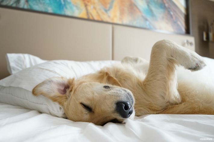 hotel bed car travel with your dog