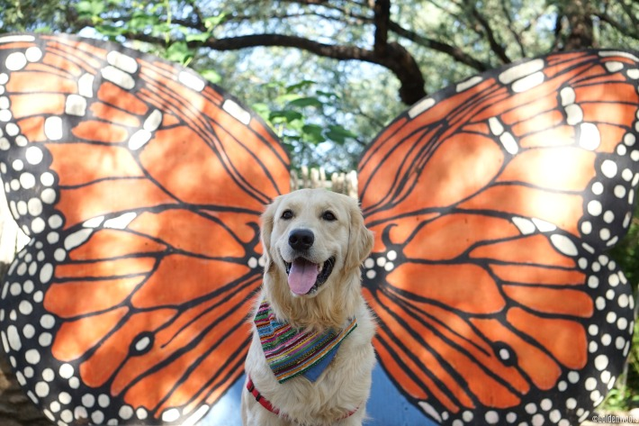 Golden Retriever monarch butterfly dog