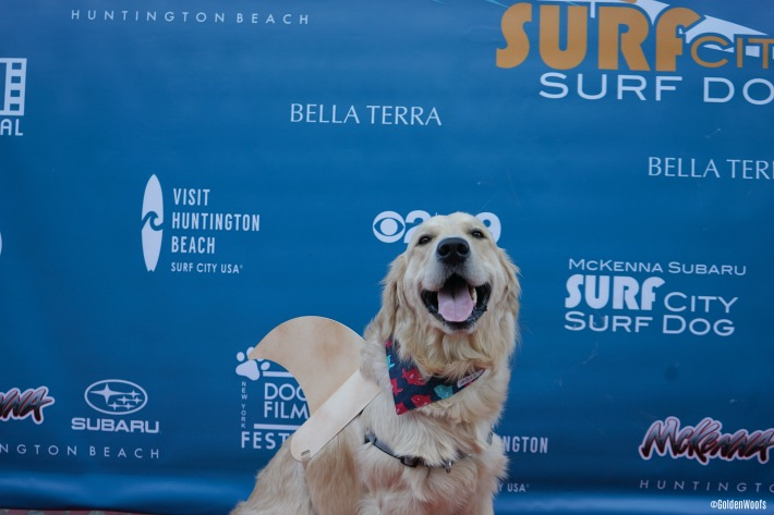 Surf City Surf Dog Pooch Pawty: shark dog shark fin labrashark