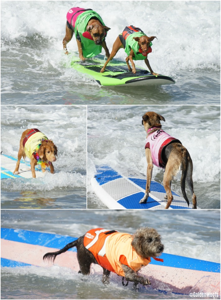 2017 surf city surf dog: surfing dog competition
