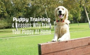 Puppy Training 4 Reasons Why Train Your Puppy At Home