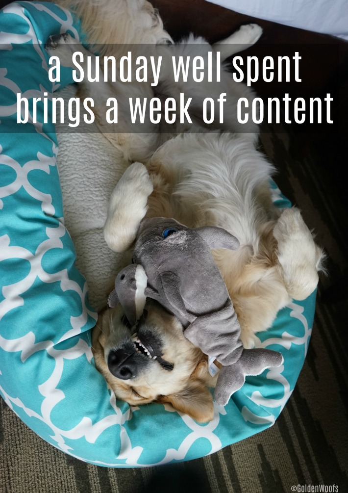 Sleepy Sunday : Golden Retriever dog
