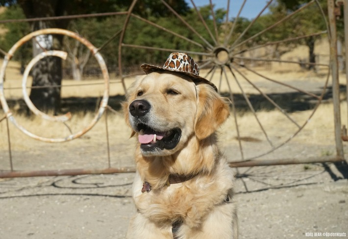 dog cowboy hat - dogs in hat