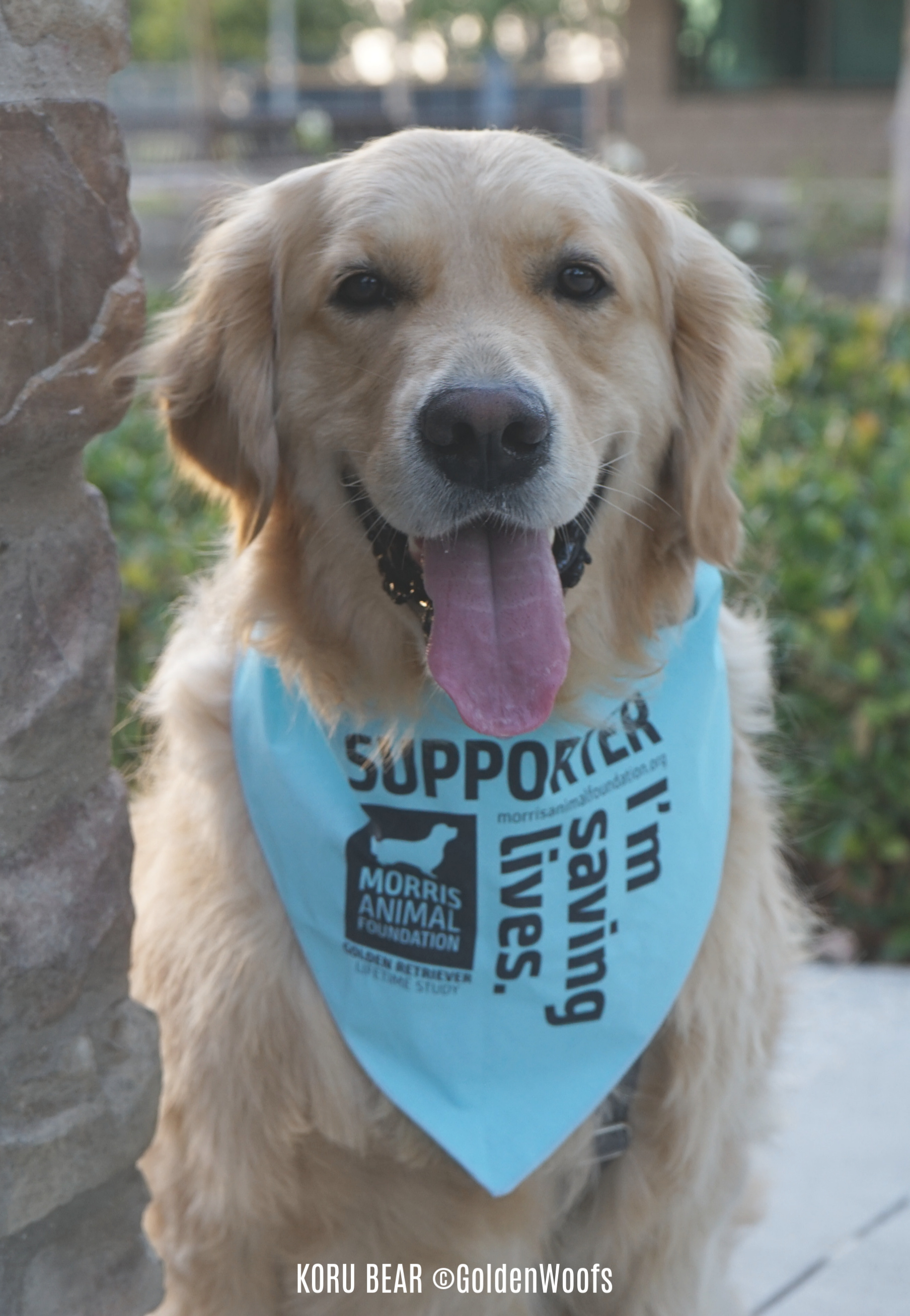 Morris Animal Foundation Golden Retriever Lifetime Study National Dog Day
