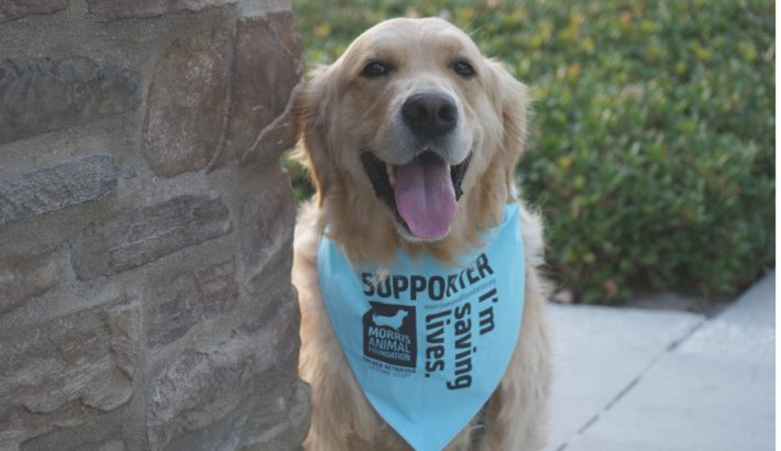 Saving Lives for Morris Animal Foundation Golden Retriever Lifetime Study