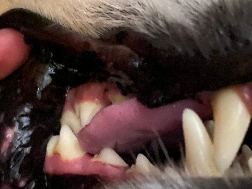 dog teeth after bluestem oral pet care
