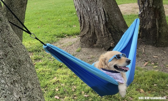 Golden Retriever in a Hammock