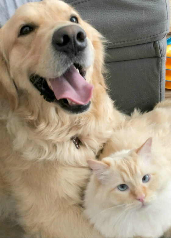 Golden Woofs Loves Cats
