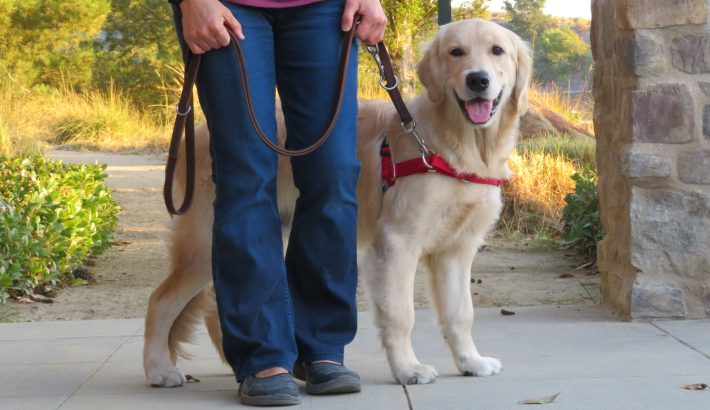 Are Golden Retrievers Easy To Train?