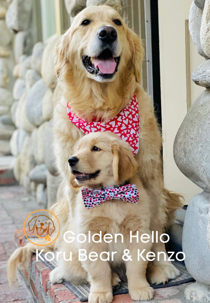 Golden Woofs : Sugar The Golden Retriever Blog