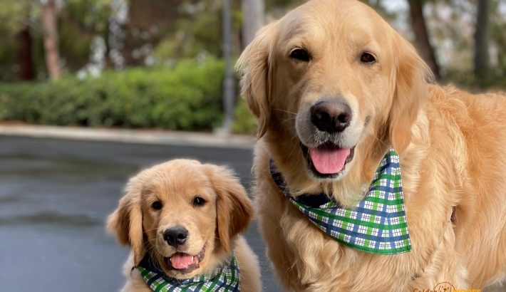 10 Questions to Consider When Adding A Second Dog | Another Golden Retriever