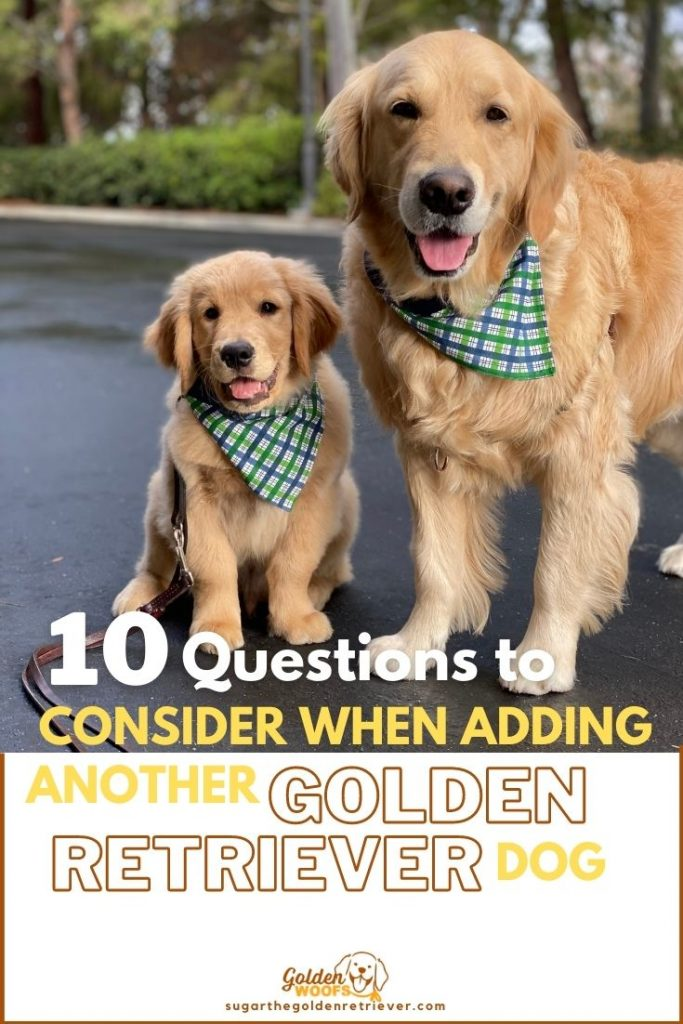 question when adding a second dog another golden retriever