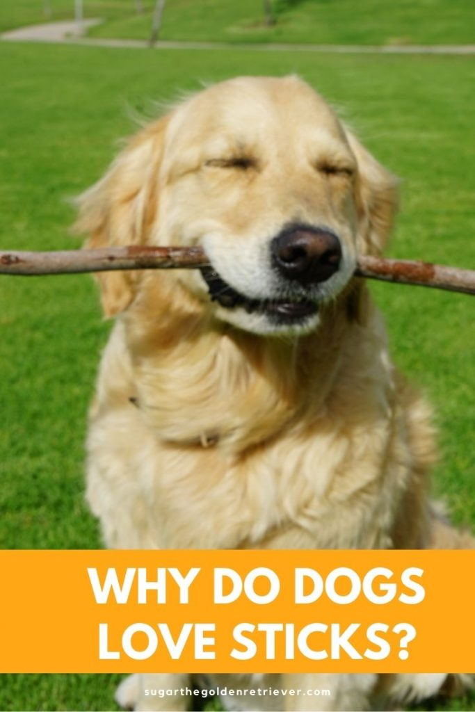 why do dogs love sticks
