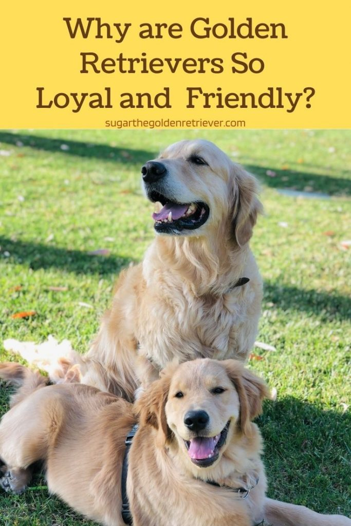 Golden Retrievers are Loyal and Friendly