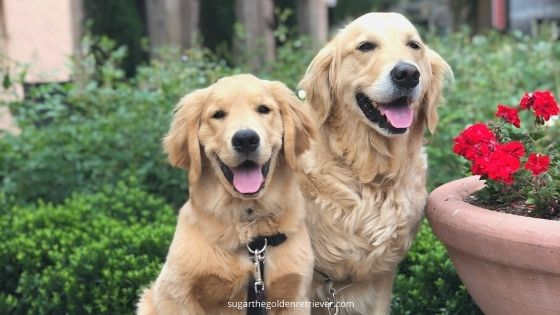 Golden Retrievers are So Loyal and Friendly