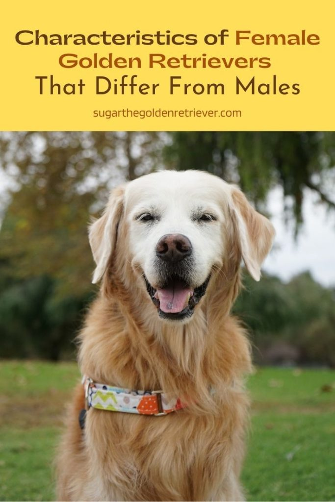 Characteristics of Female Golden Retrievers That Differ From Males