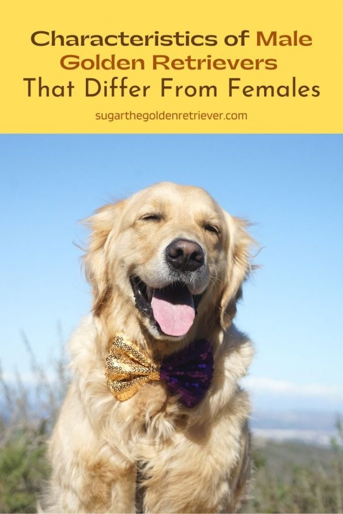 Characteristics of Male Golden Retrievers That Differ From Females