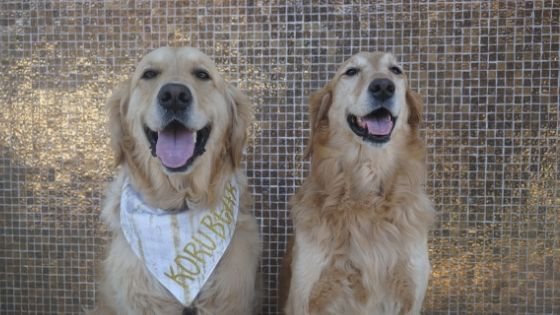 Male vs Female Golden Retriever: What's the Difference & Which is Better?