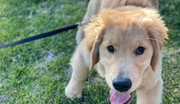 Are Golden Retrievers Hyper Dogs? 5 Ways How To Calm Down Your Golden Retriever