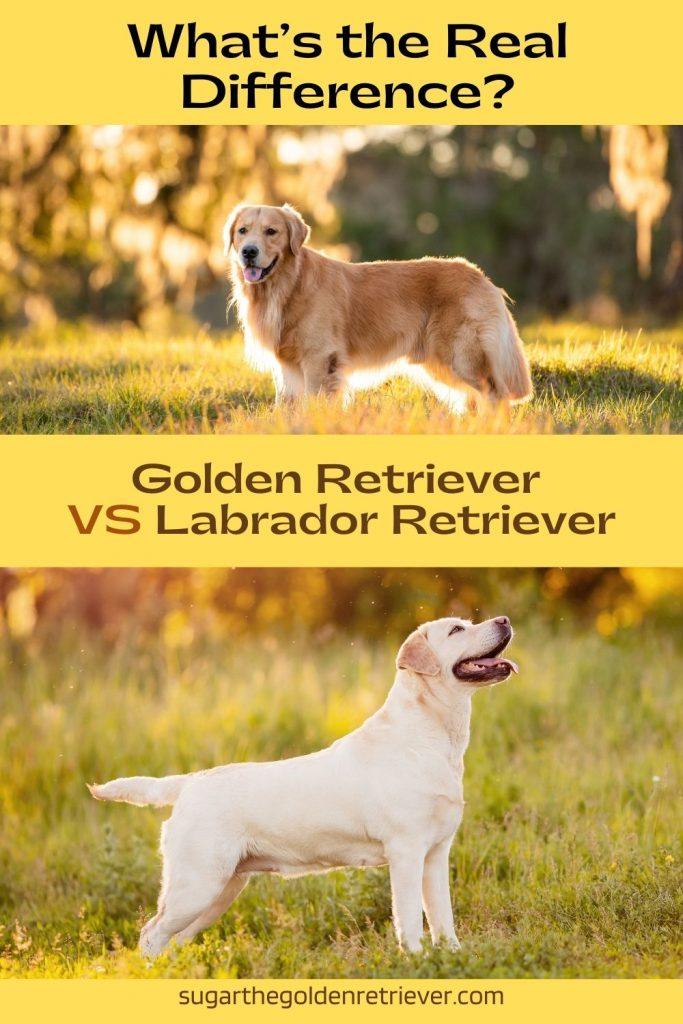 golden retriever vs Labrador Retriever - What's the Difference?