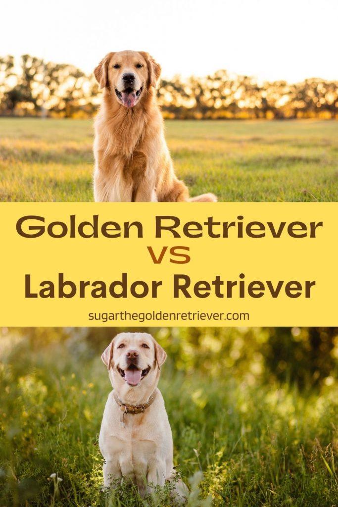 golden retriever vs labrador retriever