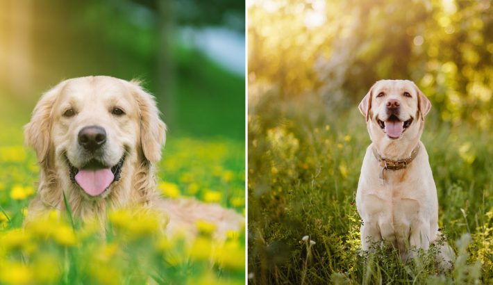 Golden Retriever vs Labrador Retriever: What's The Difference?
