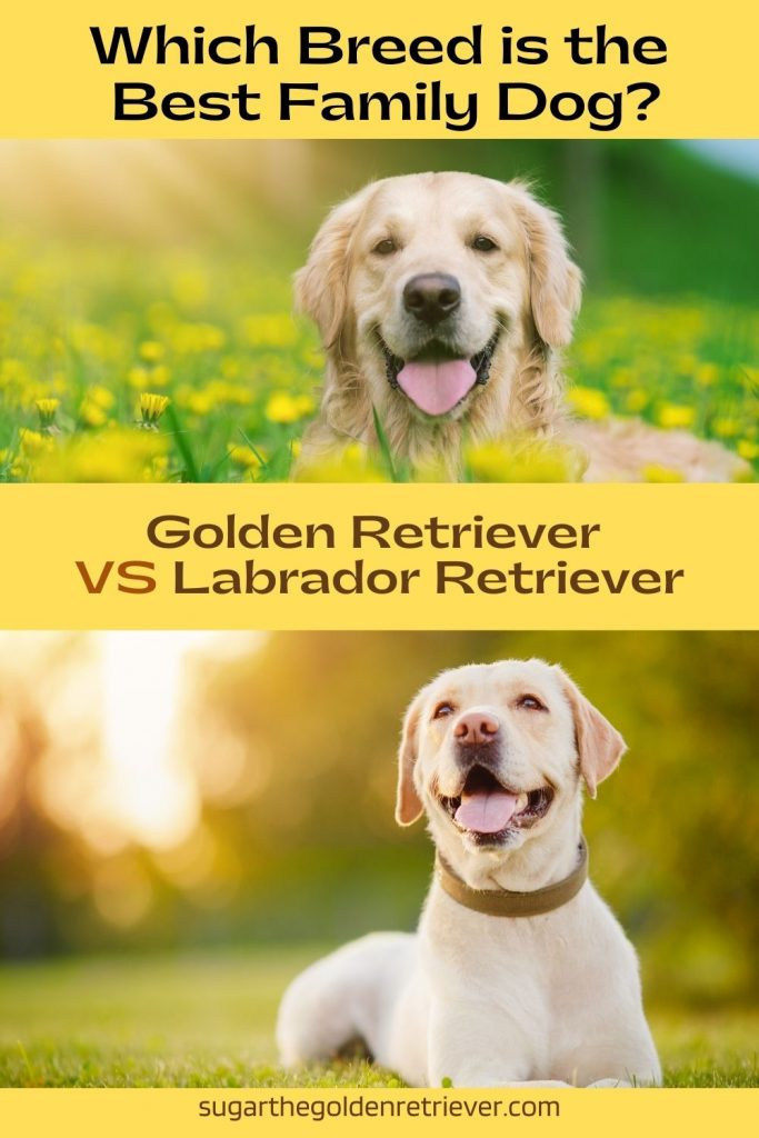 Golden Retriever vs Labrador Retriever - which breed is best family dog?
