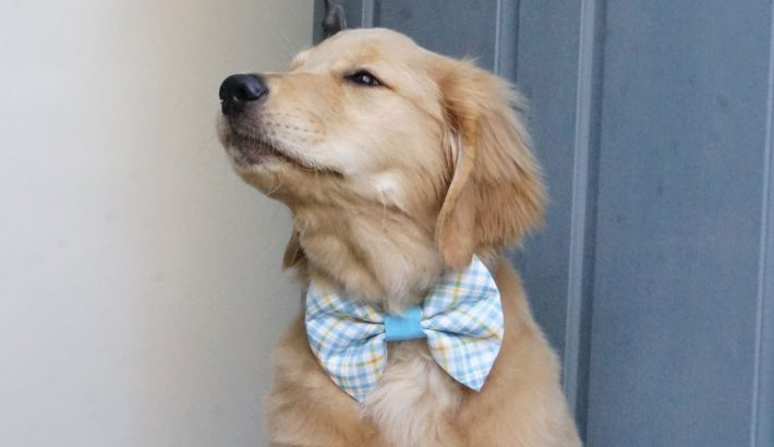 400+ Of The Best Most Cutest Golden Retriever Dog Names Ever